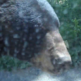 Bear caught opening car door on video. Some tourists had a very close encounter with a wild bear. The bear managed to open their car door by biting on the […]