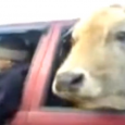 Amazing and funny Compilation! If you think a horse or cow riding in a car is unbelievable, just watch this video.