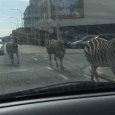 Three zebras were caught on video running through the streets of Brussels. The zebras escaped from Koningslo, south-west of Vilvoorde and immediately made for Schaarbeek before arriving at the City […]